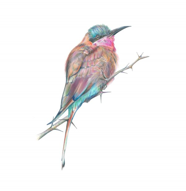 Southern Carmine Bee Eater illustration by botanical artist Charlotte Argyrou