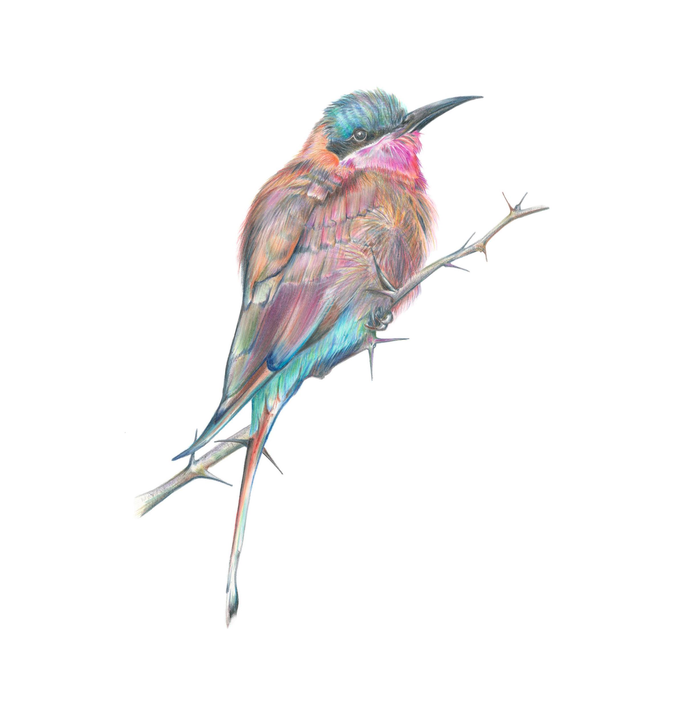 Carmine Bee Eater illustration by Botanical Artist Charlotte Argyrou