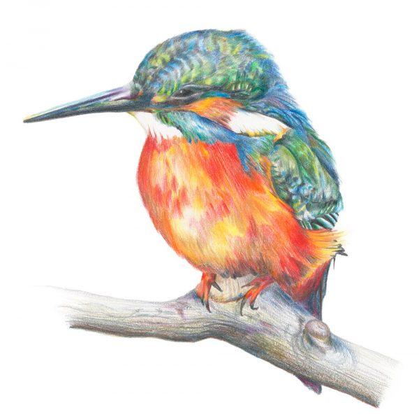 Common Kingfisher illustration by botanical artist Charlotte Argyrou