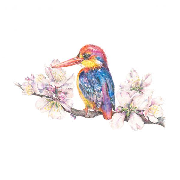 Oriental Kingfisher illustration by botanical illustrator Charlotte Argyrou