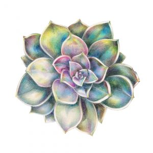 Perle von Nürnberg succulent illustration art print by botanical illustrator Charlotte Argyrou