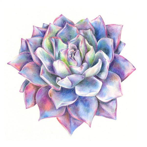Echeveria Afterglow succulent illustration art print by botanical artist Charlotte Argyrou