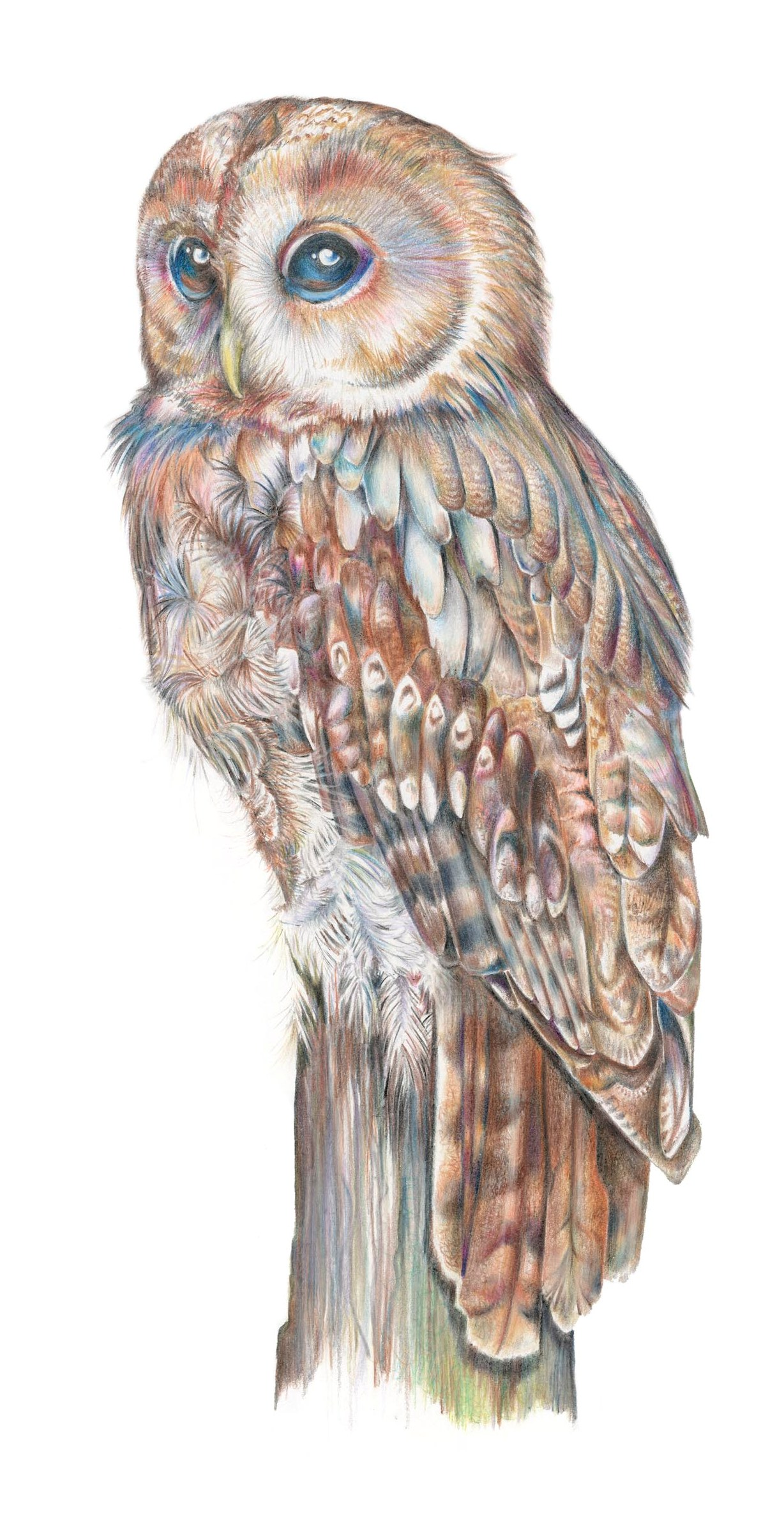 Tawny Owl illustration by botanical illustration Charlotte Argyrou. Limited edition Giclee artprint.
